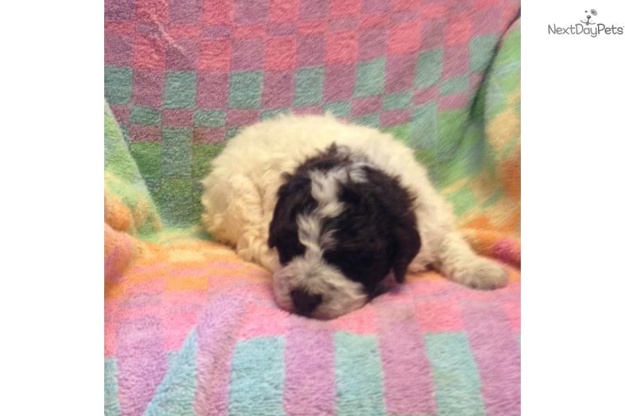 Roan Female: Lagotto Romagnolo puppy for sale near Binghamton, New
