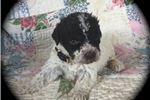 Picture of Adorable Lagotto Puppy Home Raised