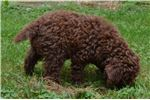 Picture of Champion Sired Lagotto Romagnolo Female Puppy