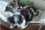 Picture of Gorgeous Lagotto Puppy, Home Raised, Ch lines