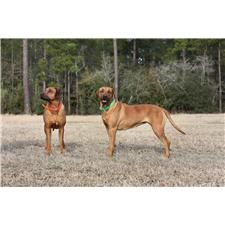 View full profile for J&M Ridgebacks