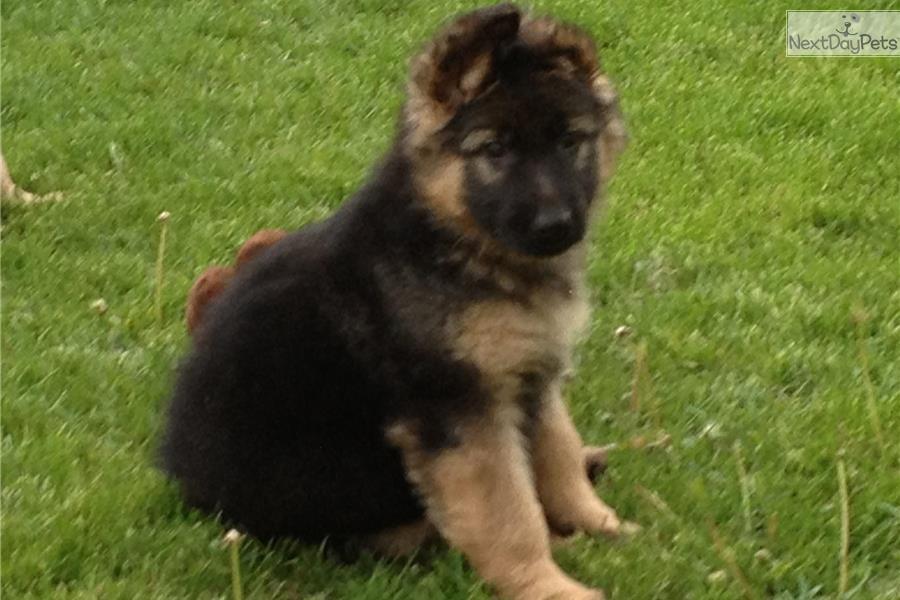 German Shepherd puppy ...