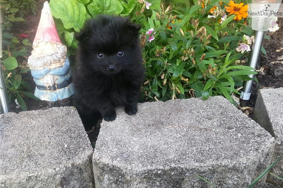 pomeranian puppies for sale in illinois pomeranian puppy for sale near chicago illinois 3440