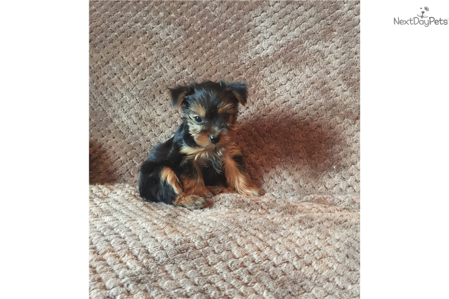 Yorkshire Terrier Yorkie Puppy For Sale Near Chicago Illinois