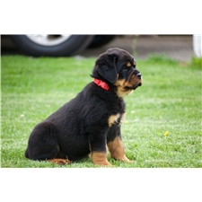 View full profile for Mid Penn Rottweilers