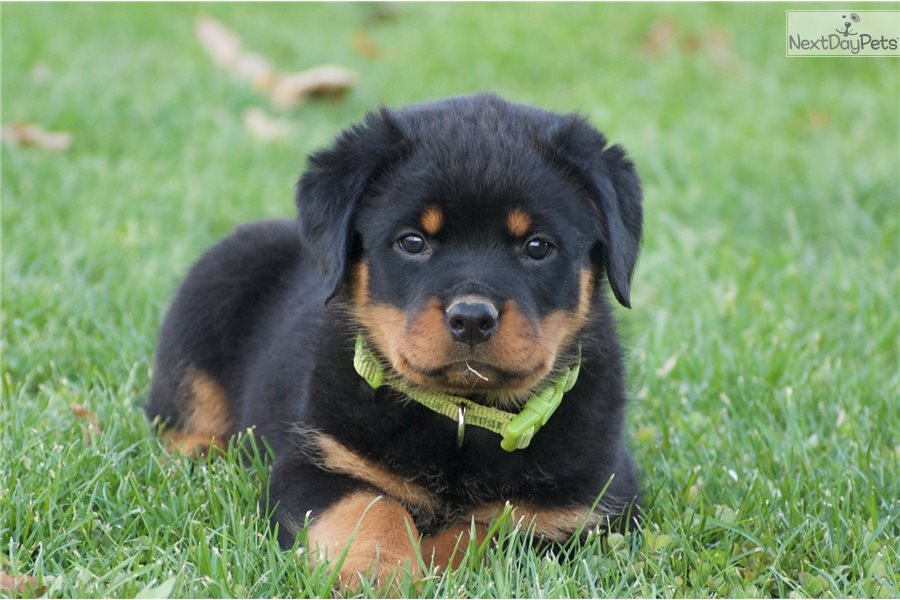 Rottweiler Puppy For Sale Near Harrisburg Pennsylvania 698e56ed 1a91