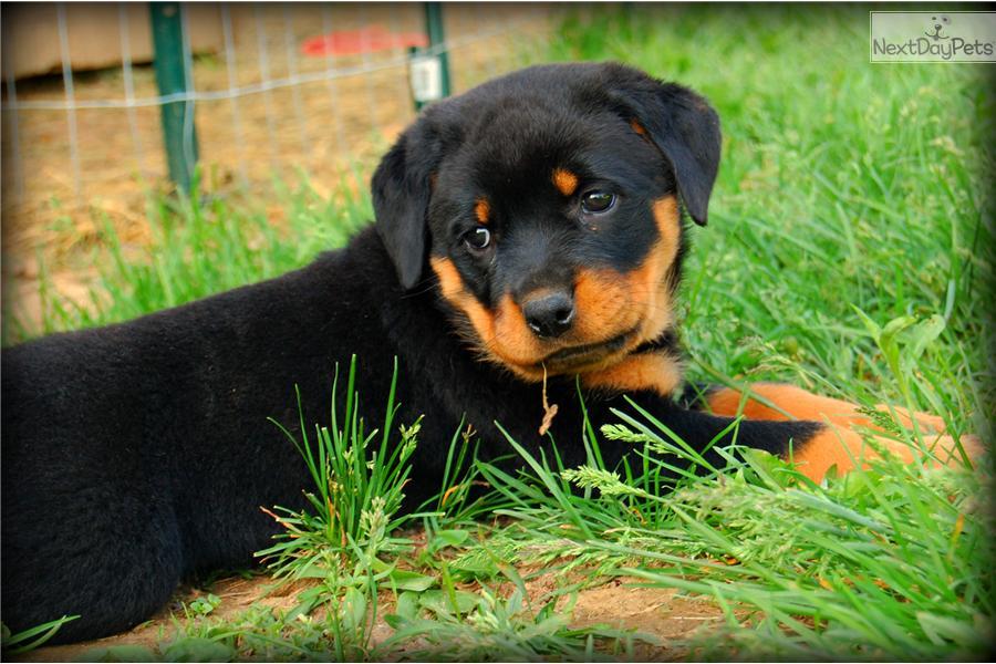 Rottweiler Puppy For Sale Near Harrisburg Pennsylvania