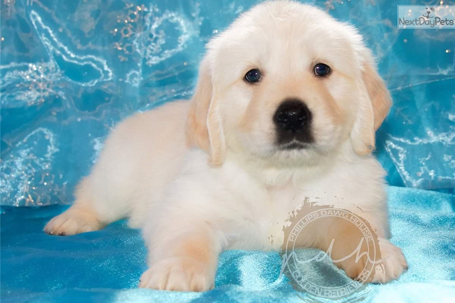 Golden Retriever puppy for sale near Huntsville / Decatur