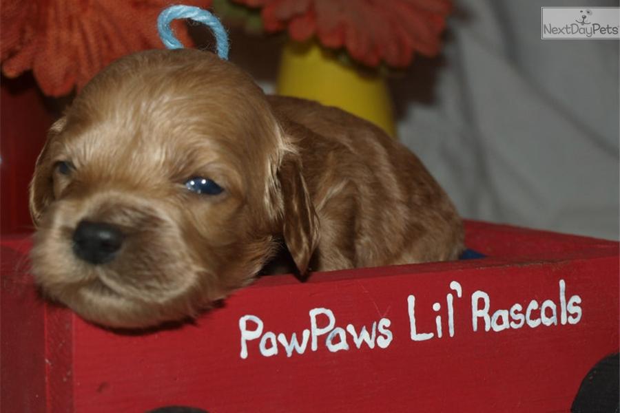 Boomer: Cockapoo puppy for sale near Houston, Texas