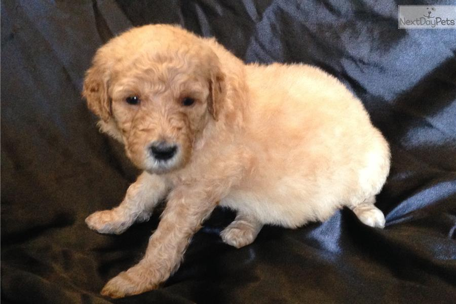 Gucci Labradoodle Puppy For Sale Near San Antonio Texas