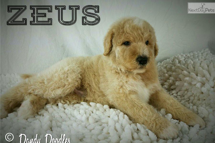 April Litter F1bb: Labradoodle puppy for sale near San