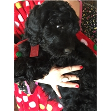 View full profile for Crystal's Lake Labradoodles