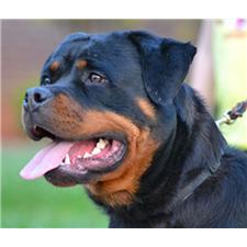 View full profile for Von der Alten Feld Rottweiler Kennel