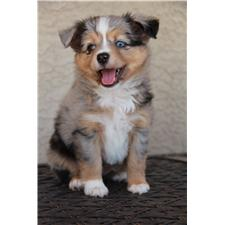 View full profile for Mini Aussies