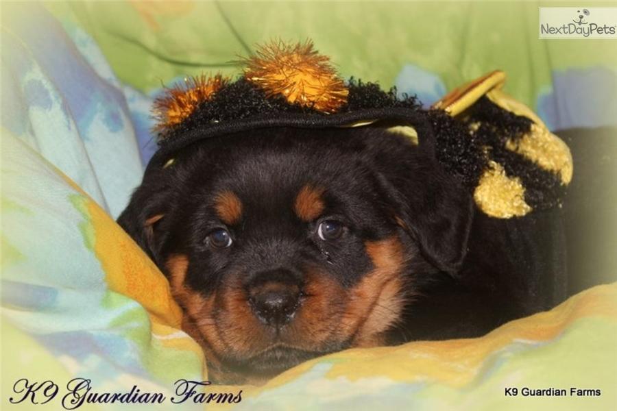 Bumblebee Rottweiler Puppy For Sale Near Richmond Virginia