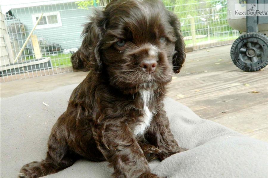 cocker spaniel puppies mn dogs and puppies for sale and adoption oodle marketplace 6976