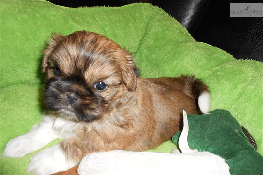 shih tzu puppies for sale indianapolis shih tzu puppy for sale near indianapolis indiana 1858