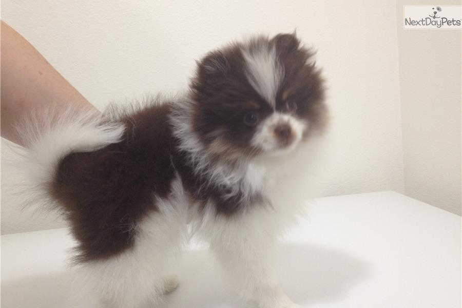 pomeranian groomer near me pomeranian puppy for sale near salt lake city utah 2631