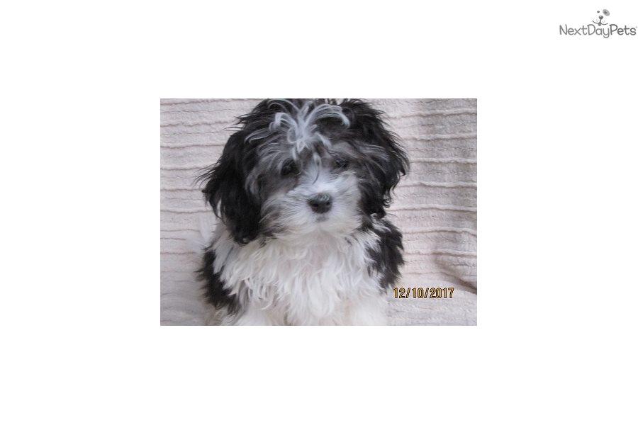 Puppies Madison Wi