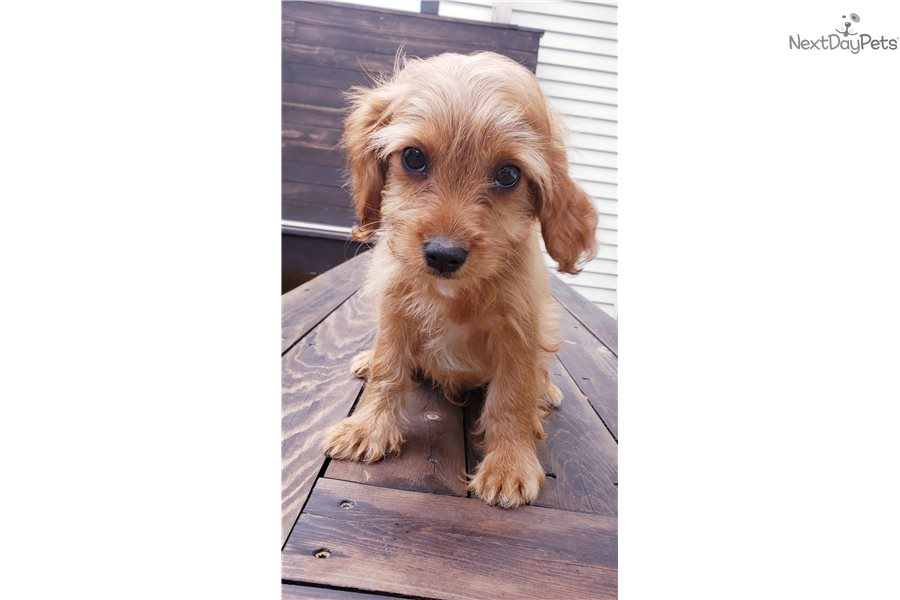 Cavapoo: Cavapoo puppy for sale near Madison, Wisconsin