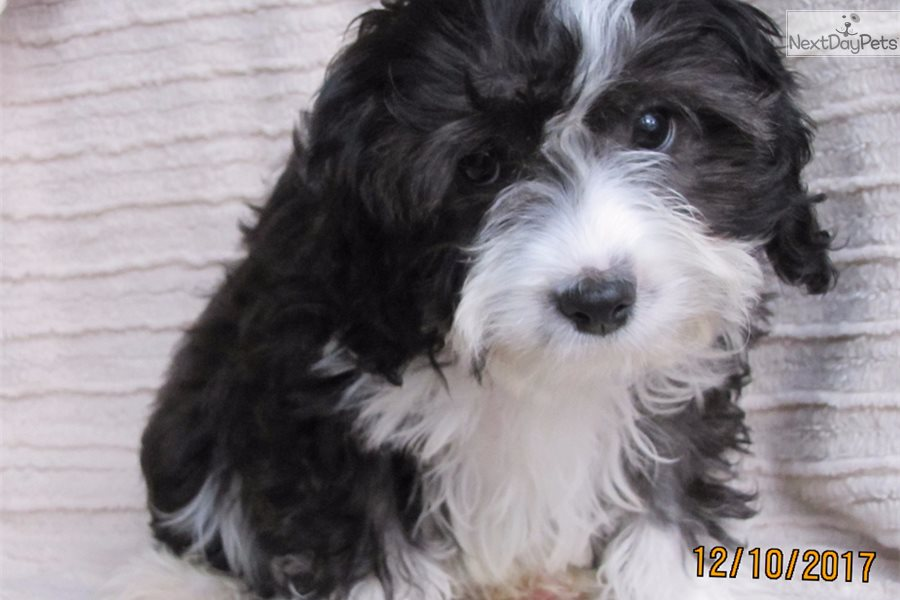 Cavapoo Dogs For Sale In Wisconsin