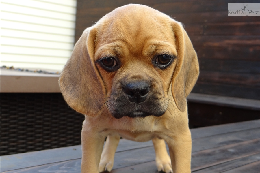Puggle: Puggle puppy for sale near Madison, Wisconsin