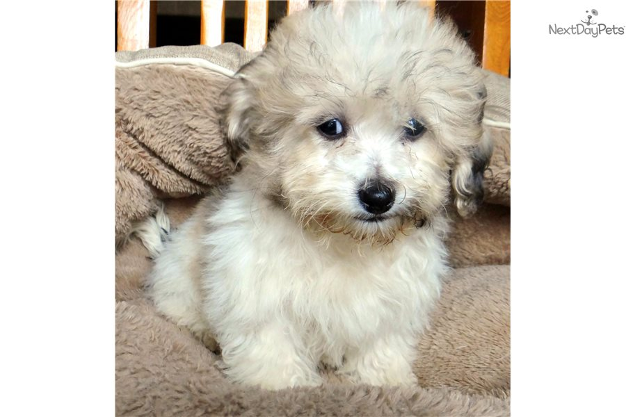 Teddy Bear: Shichon puppy for sale near Madison, Wisconsin