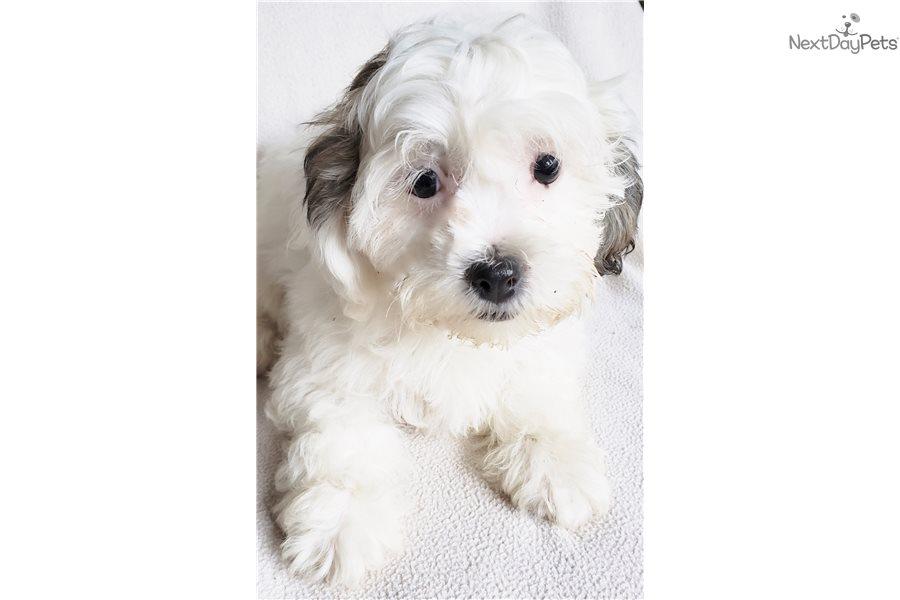 Shichon puppy for sale near Madison, Wisconsin | 62e76019-2961