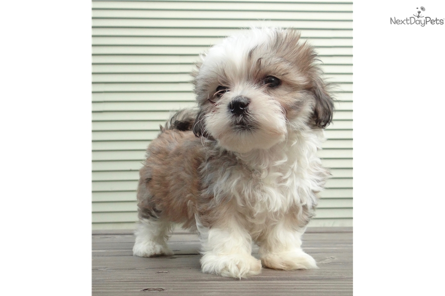 Shichon Puppy For Sale Near Madison Wisconsin 736aaaf1 C2f1