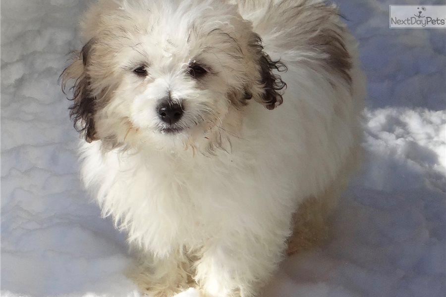 Teddy Bear: Shichon puppy for sale near Madison, Wisconsin