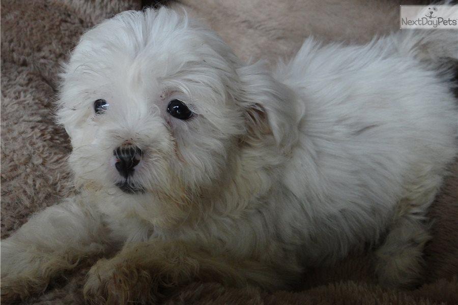Shichon puppy for sale near Madison, Wisconsin | b2007e4e-2d21