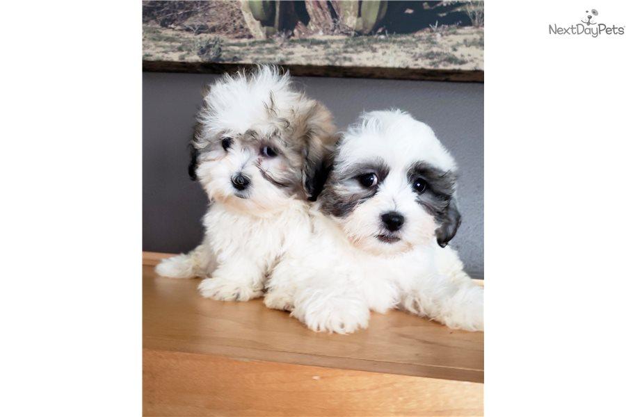 Shichon puppy for sale near Madison, Wisconsin | 1b07e48e-fbb1