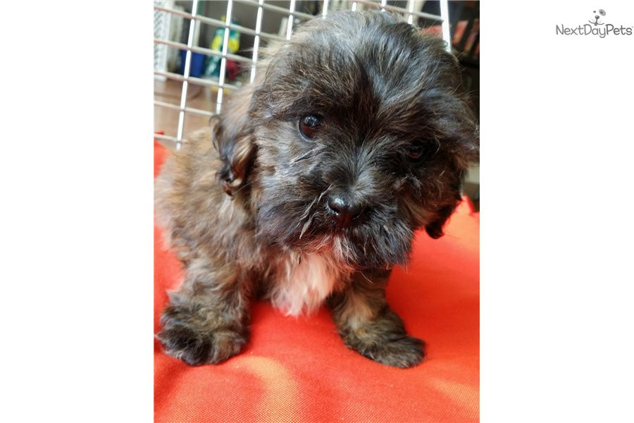 Shorkie Puppy For Sale Near Madison Wisconsin 046d831e 7251
