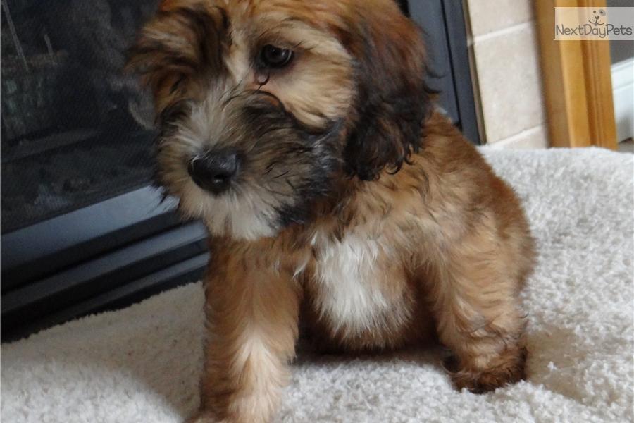 Adorable Soft Wheaten Terrier Puppies