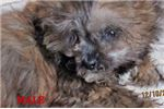 Picture of Xmas Puppies - Male Cavapoo Puppies