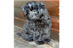Picture of Adorable Poma-Poo Puppies