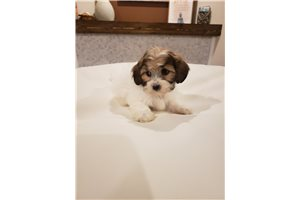 Picture of Shihpoo Teddy