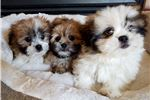 Picture of Adorable Pom-Tzu Puppies