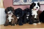 Picture of RARE Ttoodle (Tibetan Terrier & Mini Poodle) Puppy