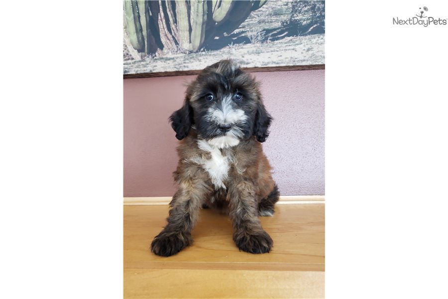 Ttoodle Tibetan Terrier Puppy For Sale Near Madison
