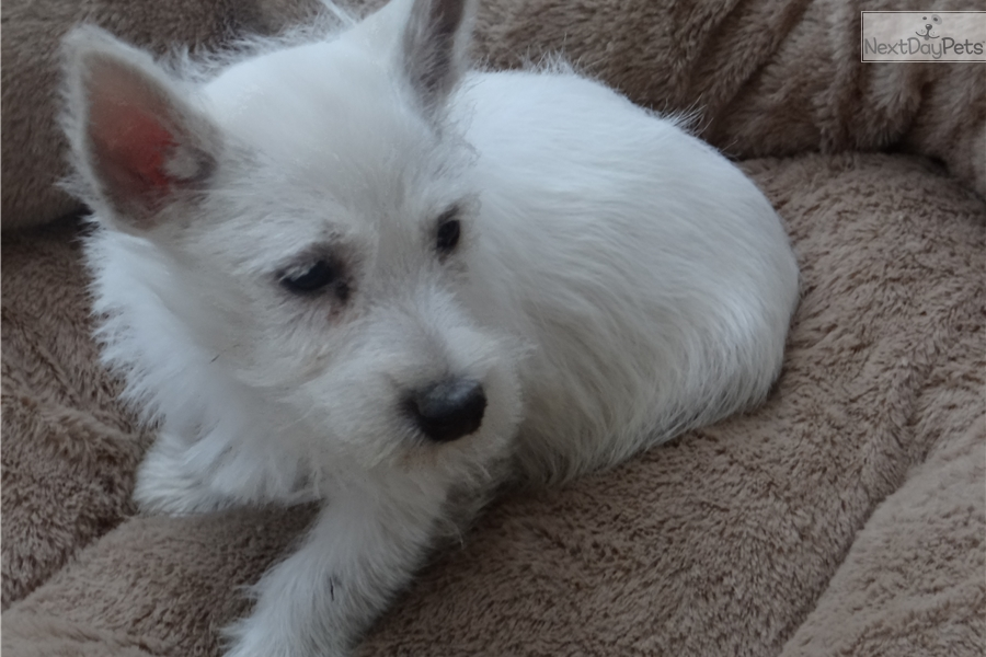 Westie: West Highland White Terrier - Westie puppy for sale
