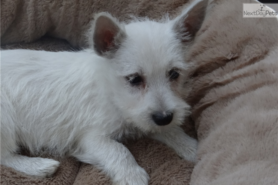 Westie: West Highland White Terrier - Westie puppy for sale