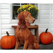 View full profile for Johnson's Vizsla's