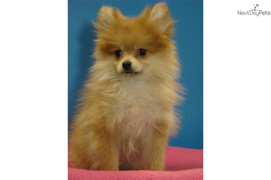 pomeranian california pomeranian puppy for sale near san diego california 9182