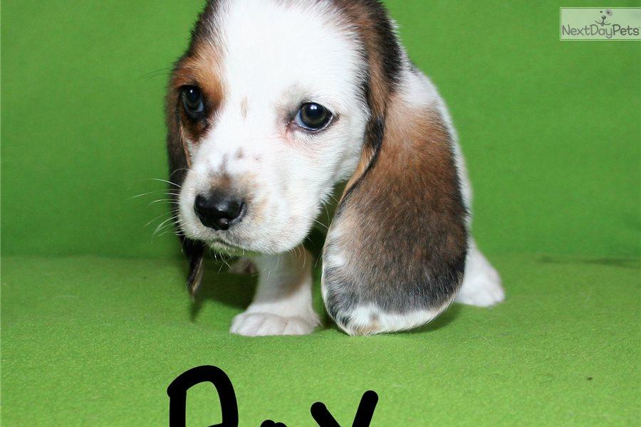 Boy 2 Basset Hound Puppy For Sale Near San Diego California
