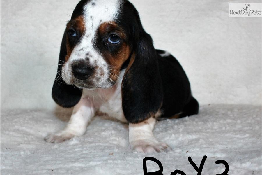 Boy 3: Basset Hound puppy for sale near San Diego
