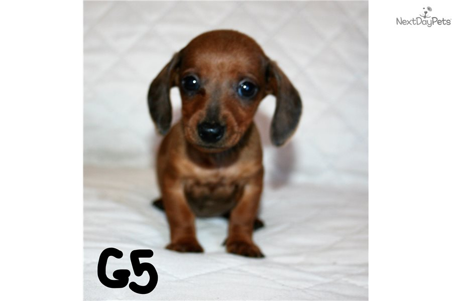 Girl 5 Dachshund Mini Puppy For Sale Near San Diego California