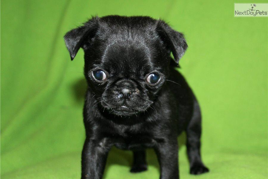 Boy A: Pug puppy for sale near San Francisco Bay Area