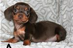 Picture of Chocolate Female Dachshund, Gorgeous
