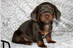 Picture of Gorgeous Chocolate Female Dachshund